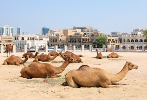 Camels in central Doha, Qatar
